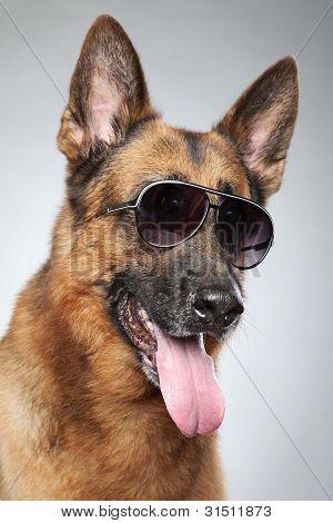 German shepherd in dark sunglasses on grey background (funny series) poster