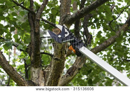 Seasonal Pruning Trees With Pruning Shears. Gardener Pruning Fruit Trees With Pruning Shears. Taking