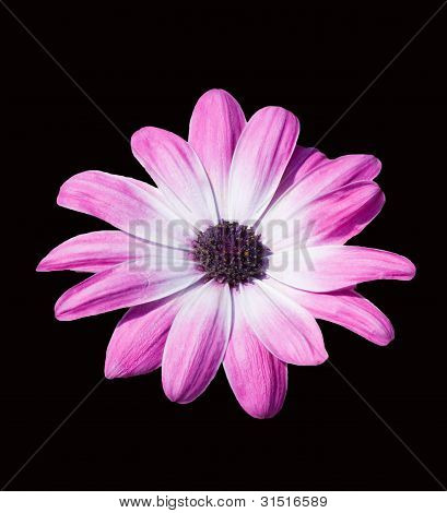 Pink Daisy Flower on Black Background