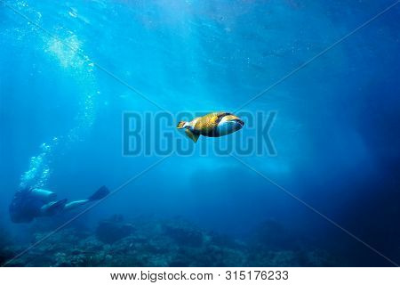Underwaterphoto Of Titan Triggerfish And Scuba Diver In The Background From A Scuba Dive In At Phi P