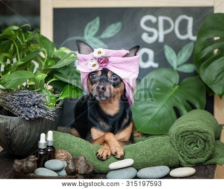 Massage And Spa, A Dog In A Turban Of A Towel Among The Spa Care Items And Plants. Funny Concept Gro