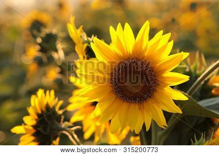 Sunflower in field sunset Nature background Sunflowers meadow Nature background Macro Close-up Nature background Sunflower sunset Nature background Flower dusk sun Nature background grow outdoor Nature background Sunflowers Sun flower Nature background.
