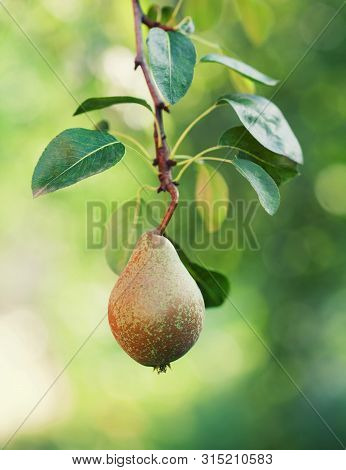 Pear Branch With Green Leaves. Farmers Food Still Life Scene. Macro View, Selective Focus.