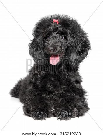 Black Poodle Puppy Resting On White Background. Baby Animal Theme