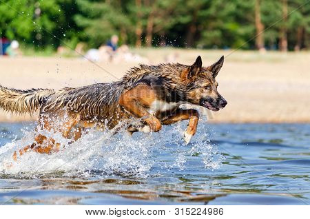 The Gulf Of Finland. Young Energetic Half-breed Dog Is Jumping Over Water. Doggy Is Playing In Water