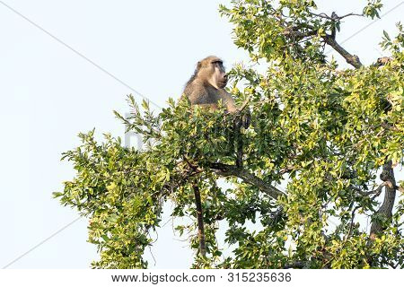 A Chacma Baboon, Papio Ursinus, Sitting In A Tree