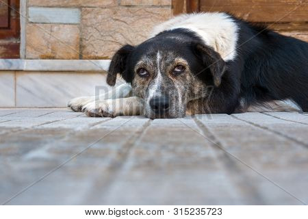 Sad Dog Lying On Floor At Home. Cute Pet Looking At Camera. Adorable Black And White Dog Lying On A
