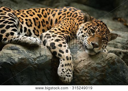 Jaguar Resting On The Rock In Zoo