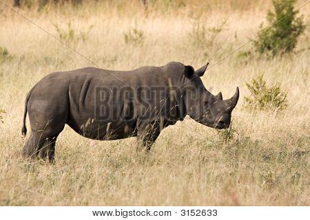 White Rhino In Kruger Park