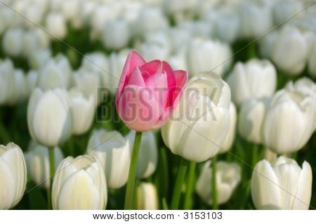 Pink Tulip In A Sea Of White Tulips