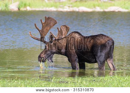 Colorado Rocky Mountains - Shiras Moose In The Wild - Bull Moose Munching Lake Grass