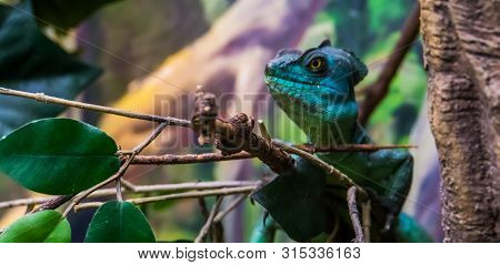 Green Plumed Basilisk With Its Face In Closeup, Tropical Reptile Specie From America