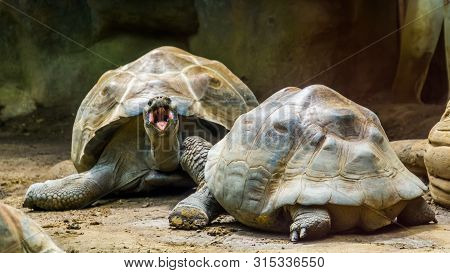 Couple Of Galapagos Tortoises Together, One Opening Its Mouth, Vulnerable Land Turtle Specie From Th