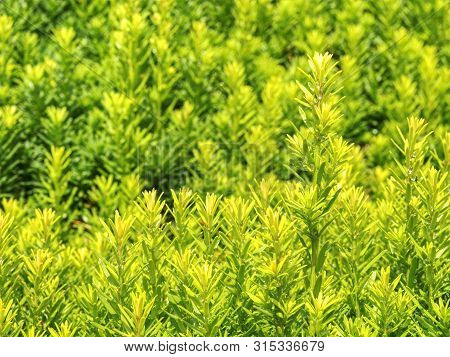 Hedge of evergreen plant with ownership separation function. Popular lush hedge of evergreen plant with separation function poster