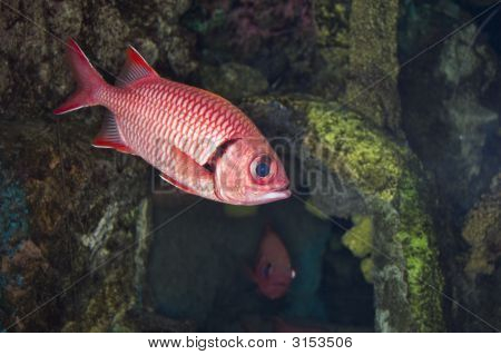 Big Eye Squirrelfish