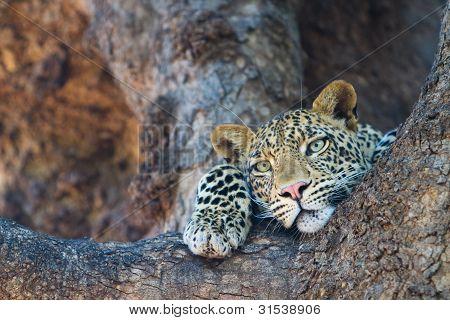 Leopard-Gesicht