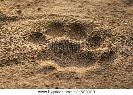 Lion footprint