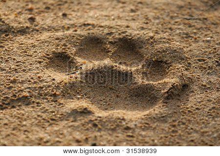 Löwe-Fußabdruck