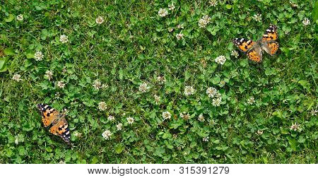 Grass Clover Texture Background. Top View. Butterfly Queen Of Spain Fritillary Sitting On A Clover L