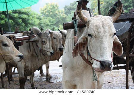 White bulls at the farm