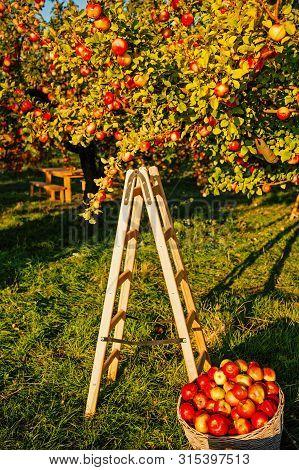 Apple Garden Nature Background Sunny Autumn Day. Gardening And Harvesting. Fall Apple Crops Harvesti