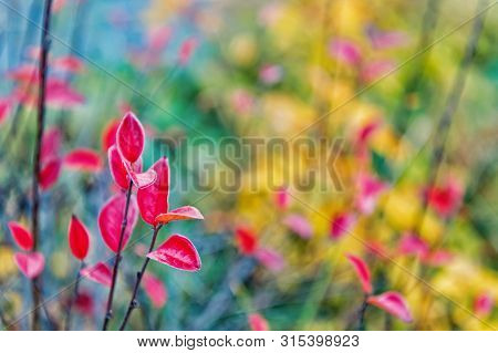 Autumn Foliage Concept. Red And Colorful Leaves Branch Close Up. Autumn Leaf Color Phenomenon Affect