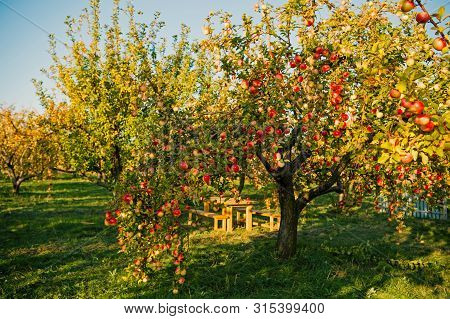 Apple Garden Nature Background Sunny Autumn Day. Gardening And Harvesting. Fall Apple Crops Organic