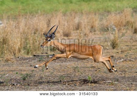 Impala Widder springen