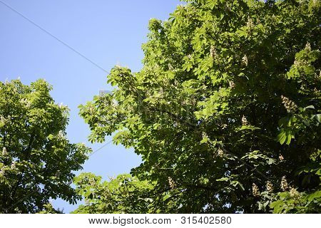 Large Chestnut Tree. A Lot Of Chestnut Leaves From Above Against The Sky And Sunlight. Green Bright