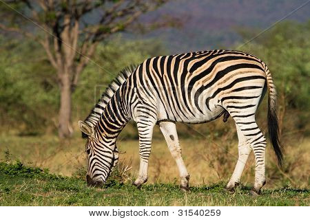 Fütterung Zebra-Männchen
