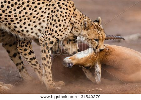 Impala töten