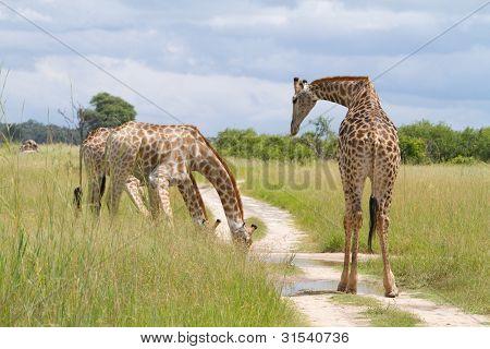 Trinken giraffe
