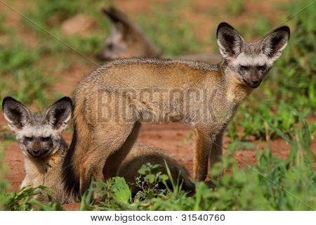 bat-eared Füchse
