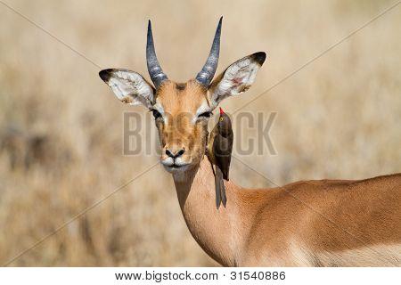 Impala und Madenhacker