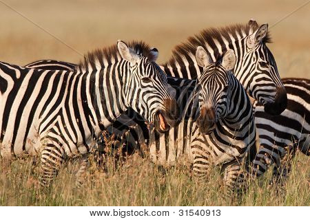 Zebras spielen