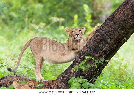 Stretching Lion Cub