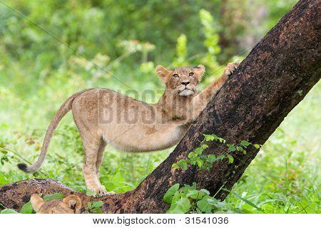 aufspannung Löwenjunges