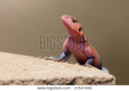 Mwanze Flat-headed Agama