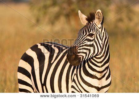 Zebra-Porträt