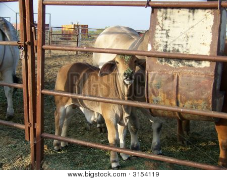Un bebé Brahma Bull