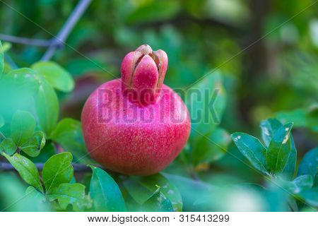 Ripe Pomegranate Tree Is Growing In Garden Garden. Tree Branch With Fresh Pomegranate