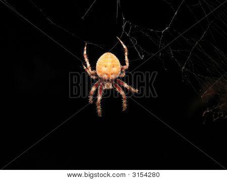 Hairy Leg Spider