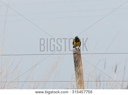 The Bird Pseudoleistes Guirahuro Is A Passeriform Bird Of The Family Icteridae. Inhabit Floodplains