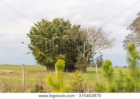 Image Of Tree Timbaúvas Farm In Brazil. The Timboúvas (enterolobium Timbouva) Are Trees That Reach U