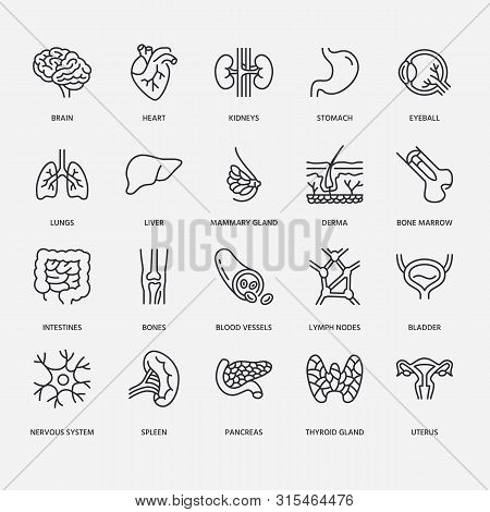 Organs, Anatomy Flat Line Icons Set. Human Bones, Stomach, Brain, Heart, Bladder, Nervous System Vec