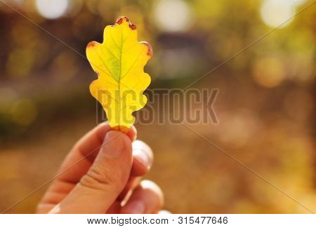 Yellow Fallen Oak Leaf Close-up In Hand On The Background Of Autumn Park And Sunlight. Autumn Concep