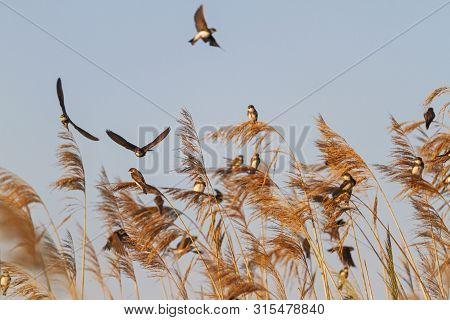 Wild Birds Fly And Sit On A Reed During Autumn Migration