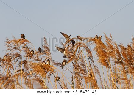 Wild Birds Sit On The Reed During Autumn Migration