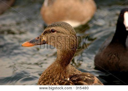 Brown Duck