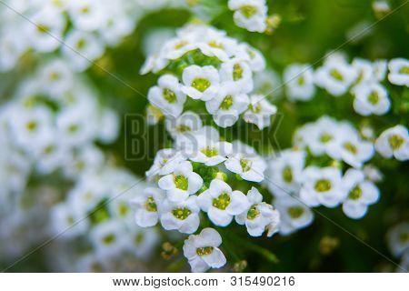 Flowers Of A Sweet Alyssum Or Lobularia Maritima Macro Shot.